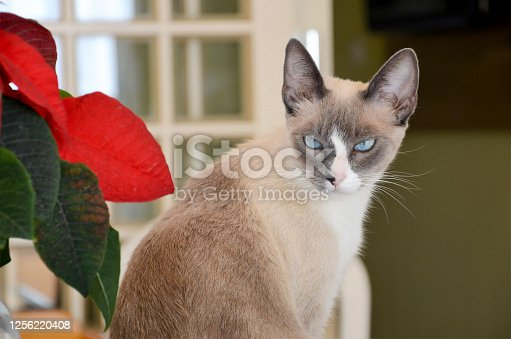 This adorable siamese cat is giviing his mean look to the dogs outside.