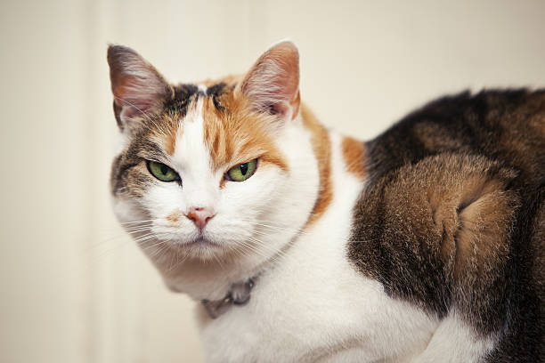 Mean Looking Cat Cat looking very mean. cruel stock pictures, royalty-free photos & images