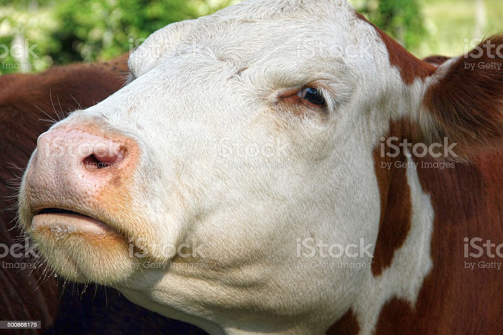 Mean looking Simmental Steer royalty-free stock photo