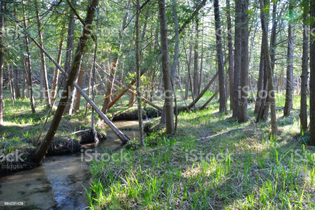 Meandering Throught The Cedars royalty-free stock photo