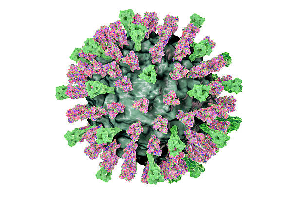 Measles virus illustration Measles virus. 3D illustration showing structure of measles virus with surface glycoprotein spikes heamagglutinin-neuraminidase and fusion protein morbillivirus stock pictures, royalty-free photos & images