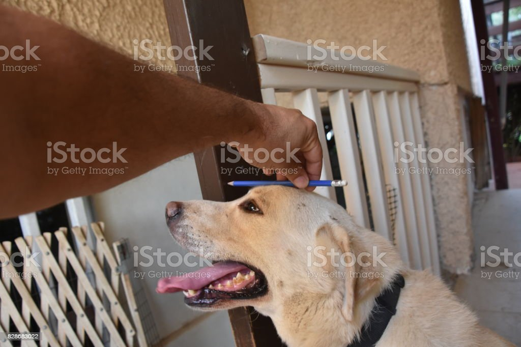 Measure Dog Height Stock Photo Istock