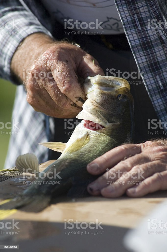 Measuring a fish royalty-free stock photo