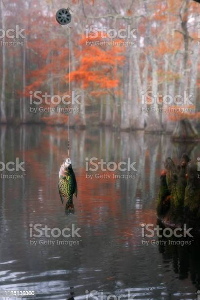 Photo of Mechanical Fisher Automatic Fishing Reel. Black crappie ( Pomoxis nigromaculatus). Beautiful bald cypress trees in autumn rusty-colored foliage. Chicot State Park, Louisiana, US