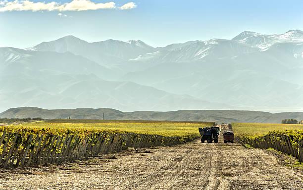 Mechanical harvest of grape stock photo