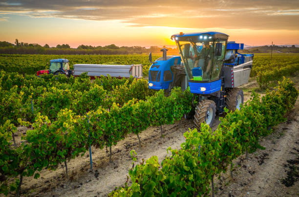 Mechanical harvester of grapes in the vineyard at sunset stock photo