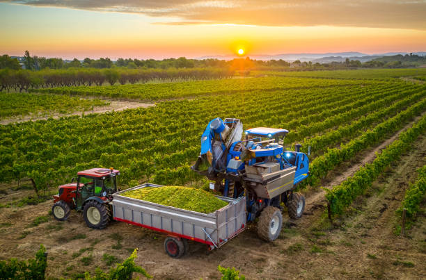 Mechanical harvester of grapes in the vineyard filling the grapes in a tractor trailer stock photo