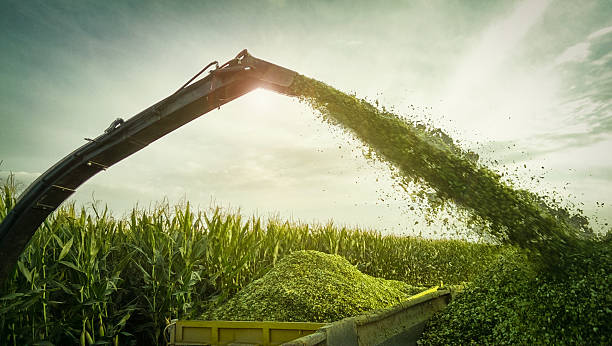 Mechanical harvesting of maize plants Corn - Crop, Farm, Agricultural Machinery, Autumn, Organic Farm foraging stock pictures, royalty-free photos & images