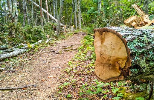 Mechanically cut tree in a woodland