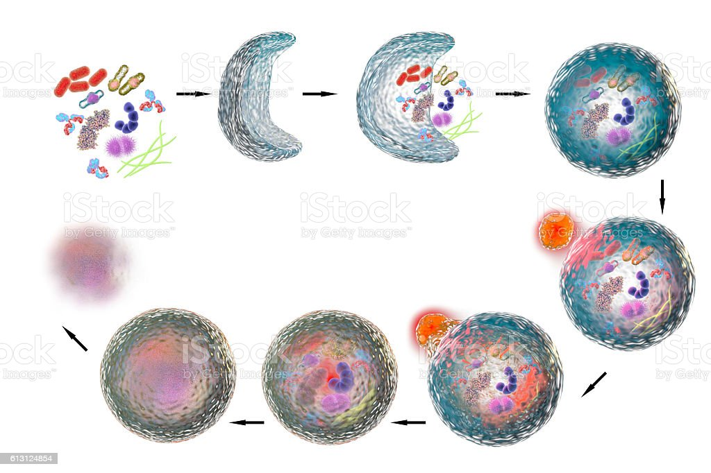 Mechanism of cellular authophagy stock photo
