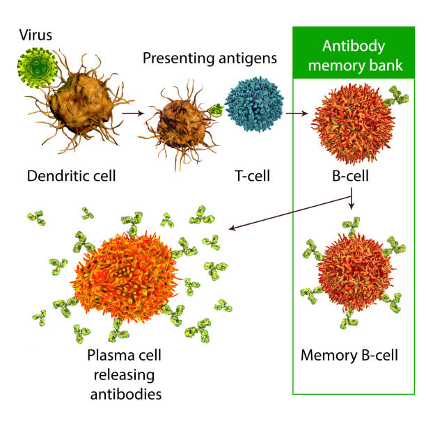 Mechanisms of immune defense against viruses stock photo