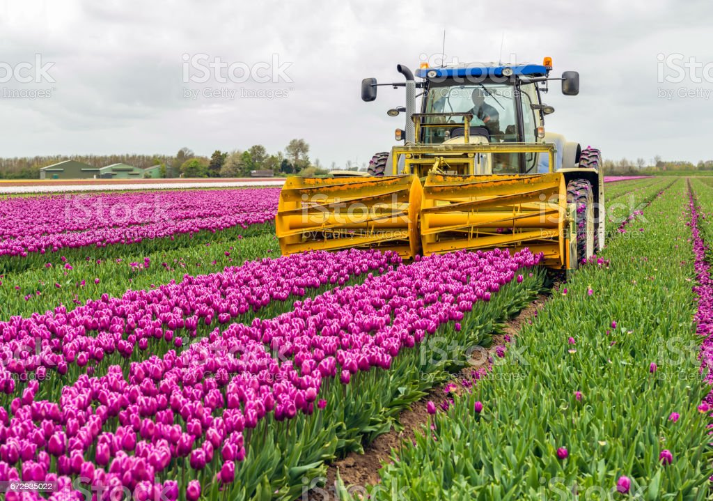 Mechanized cutting off the flower heads in a tulip field​​​ foto