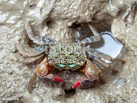 Meder's mangrove crab living on mudflats near the sea.