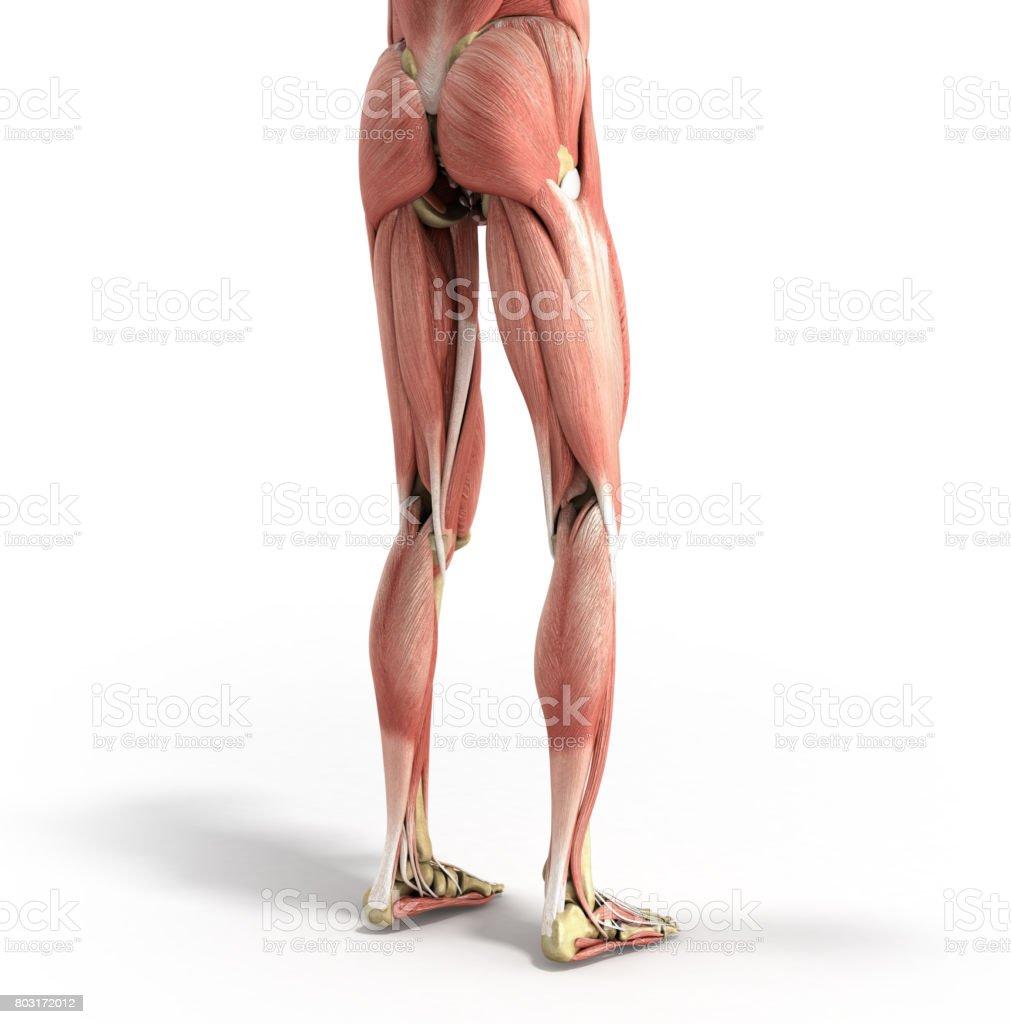 Medizinische Genaue Darstellung Der Bein Muskeln 3d Render Auf Weiß ...