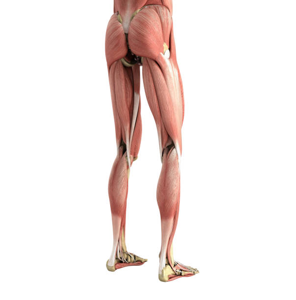 Royalty Free Upper Legs Muscles Anatomy Pictures Images And Stock