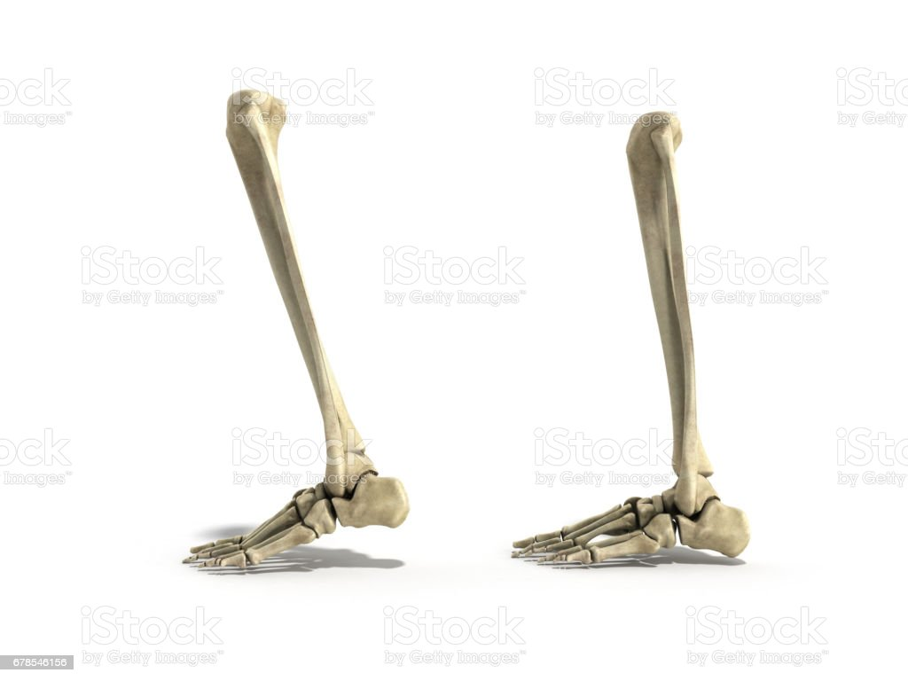 Medical Accurate Illustration Of The Lower Leg Bones 3d Render Stock
