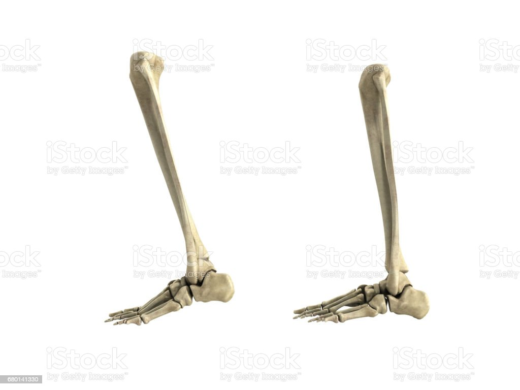 Medical Accurate Illustration Of The Lower Leg Bones Stock Photo