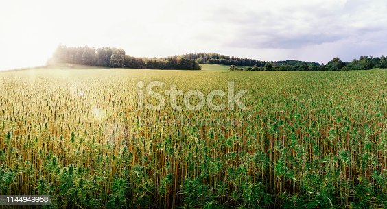 medical cannabis outdoor field in germany