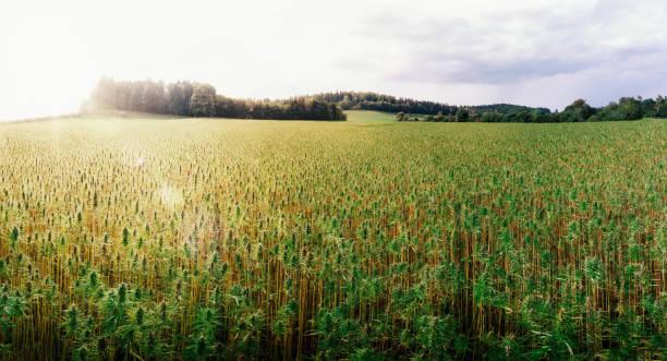 의료 대마초 분야 - 들 뉴스 사진 이미지