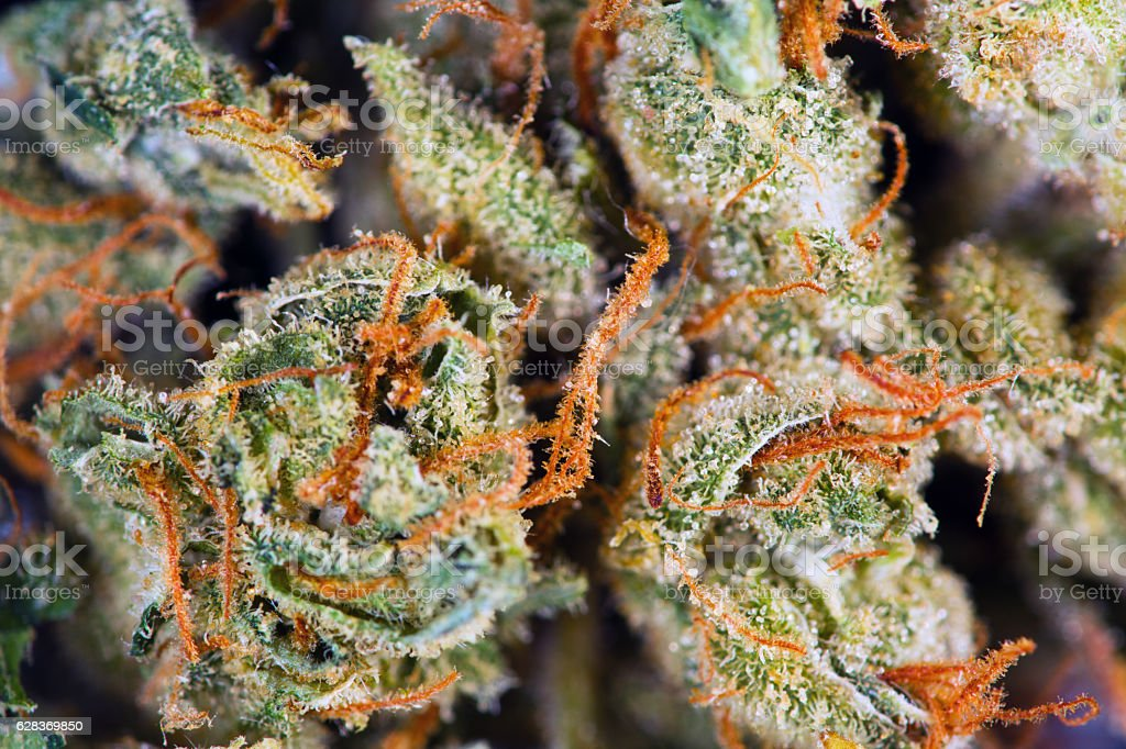 Medical Cannabis Flower Plants stock photo