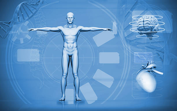 medical digital interface of human figure brain and heart - human body 3d stock photos and pictures