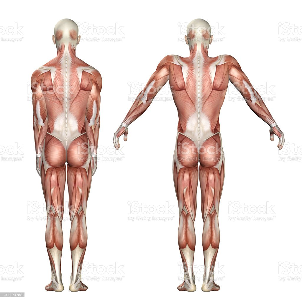 3D medical figure showing scapula elevation and depression stock photo