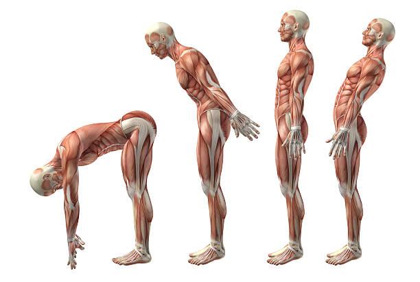 3 d personnage médicaux montrant trunk flexion et extension hyerexten, - partie du corps humain photos et images de collection