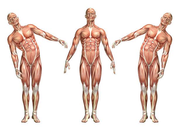 3 d personnage médicaux montrant tronc latéral pliant - partie du corps humain photos et images de collection