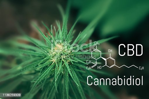istock Medical hemp and Cannabidiol CBD oil chemical formula. Growing marijuana top quality products. Concept of the use of cannabis oil for therapeutic purposes 1136259309