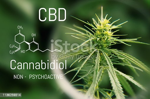 istock Medical hemp and Cannabidiol CBD oil chemical formula. Growing marijuana top quality products. Concept of the use of cannabis oil for therapeutic purposes 1136259314