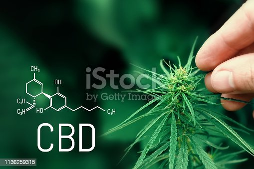 istock Medical hemp and Cannabidiol CBD oil chemical formula. Growing marijuana top quality products. Concept of the use of cannabis oil for therapeutic purposes 1136259315