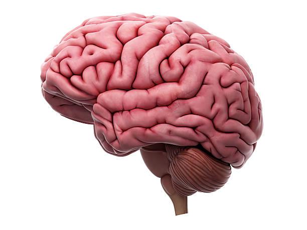 el cerebro  - brain fotografías e imágenes de stock