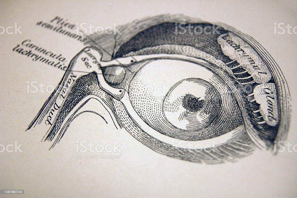 Medical Illustration of an Eye stock photo