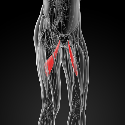istock medical  illustration of the abductor longus - side view 502124824