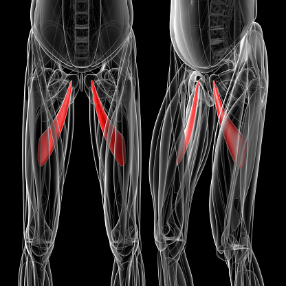 istock medical  illustration of the adductor longus 503076066