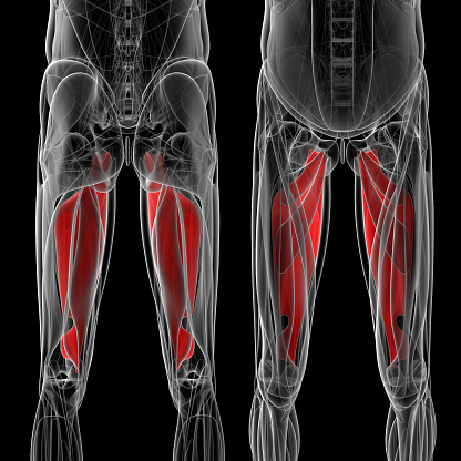 istock medical  illustration of the adductor magnus 503360472