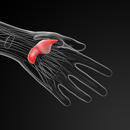 istock medical  illustration of the adductor pollicis 502124816
