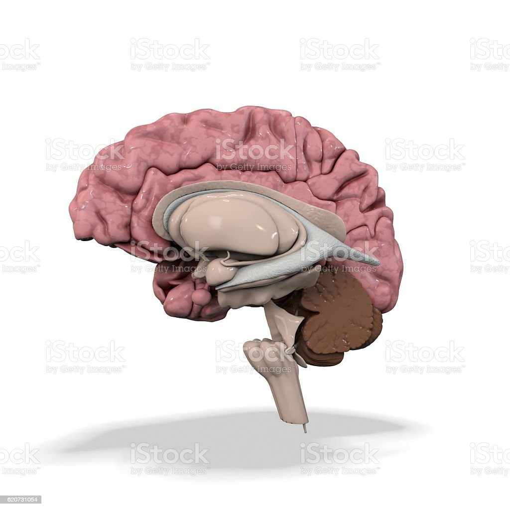 medical illustration of the human brain isolated on white stock photo