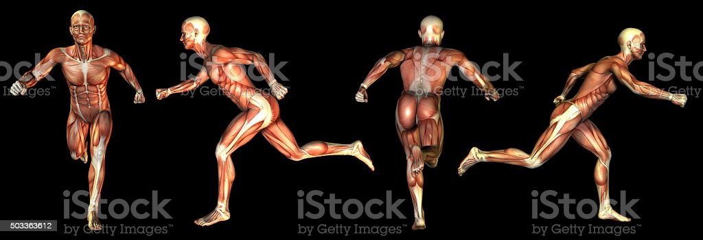 medical  illustration of the muscle stock photo