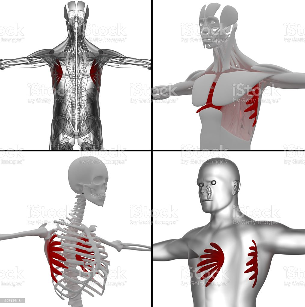 Medical Illustration Of The Serratus Anterior Stock Photo & More ...