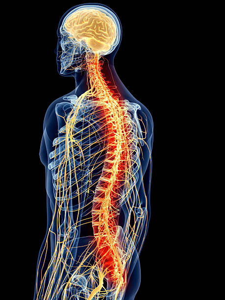 medical illustration medically accurate illustration - painful spine intercostal space stock pictures, royalty-free photos & images