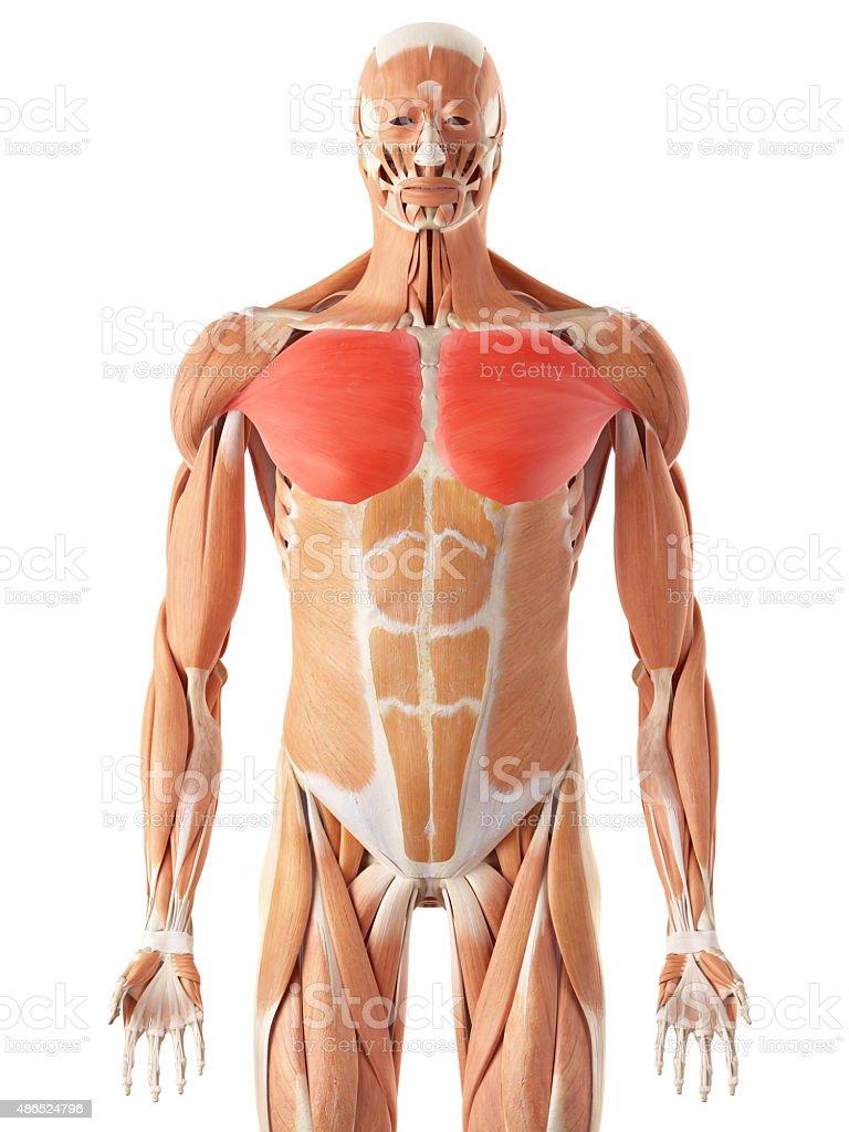 Fotografía de El Músculo Pectoral Principales y más banco de ...
