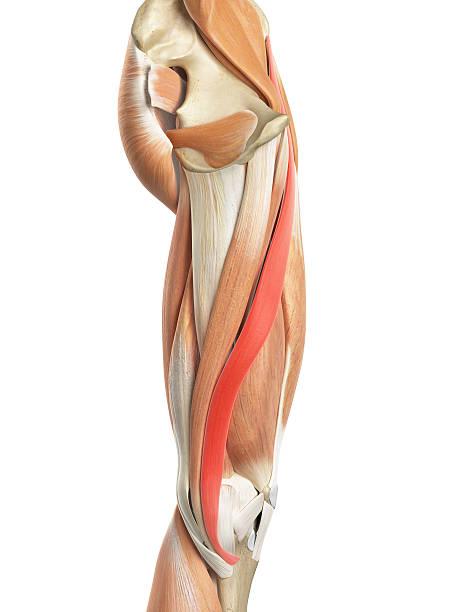 Músculo Sartorio - Stock Fotos e Imágenes - iStock