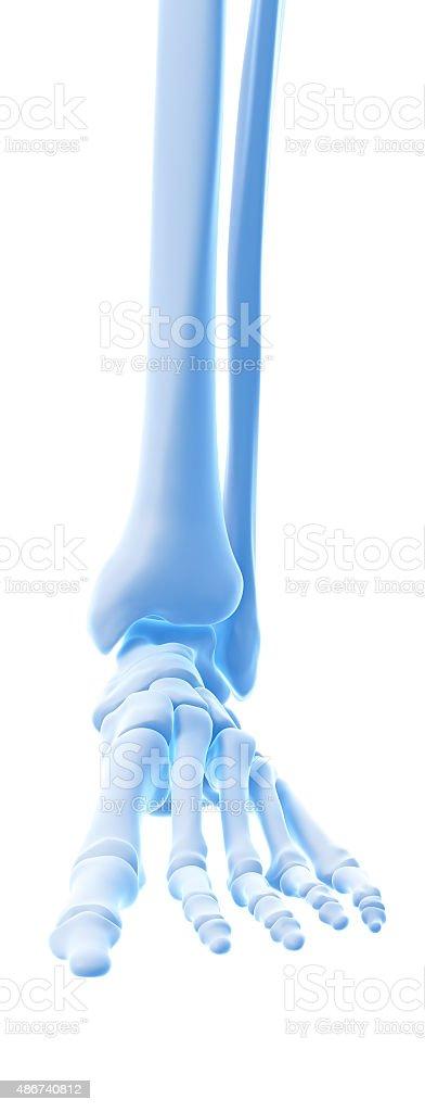 Die Knöchel Knochen Stockfoto 486740812   iStock