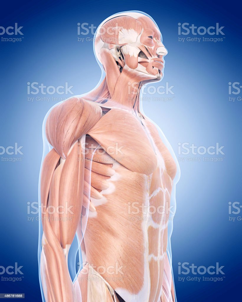 Wunderbar Oberkörper Muskeldiagramm Bilder - Menschliche Anatomie ...