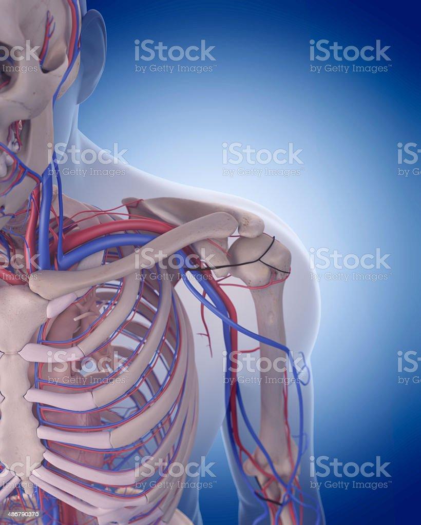 Fotografía de El Sistema Circulatorio De Hombro y más banco de ...