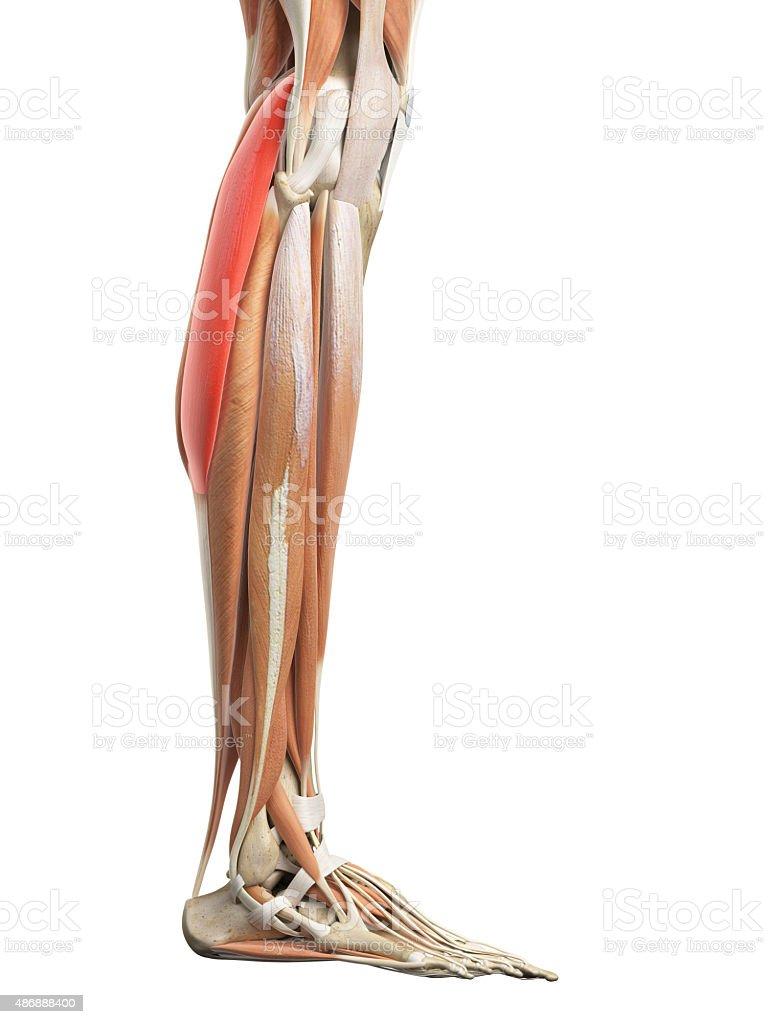 Die Zweiköpfiger Wadenmuskel Stock-Fotografie und mehr Bilder von ...