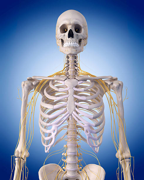medical illustration medically accurate illustration - nerves of the  upper body intercostal space stock pictures, royalty-free photos & images