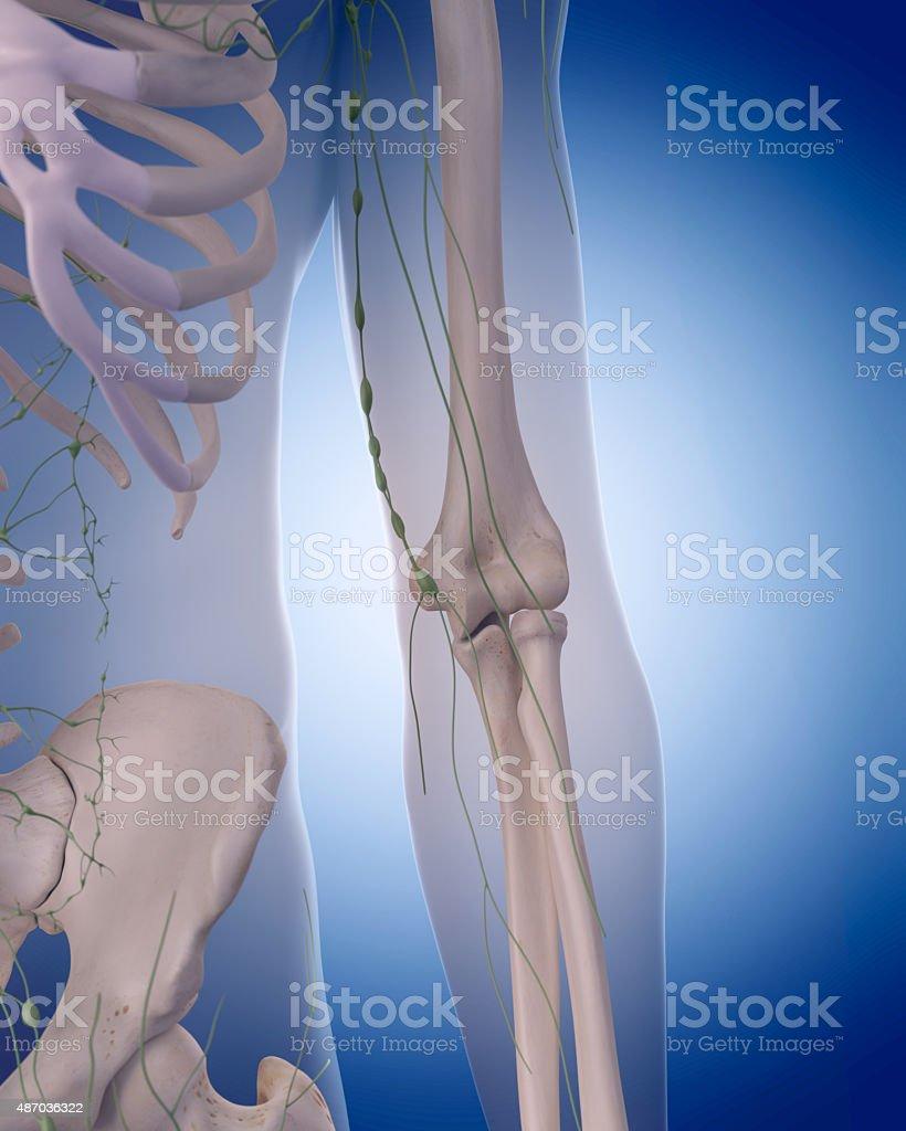 Das Lymphsystemarm - Stockfoto   iStock