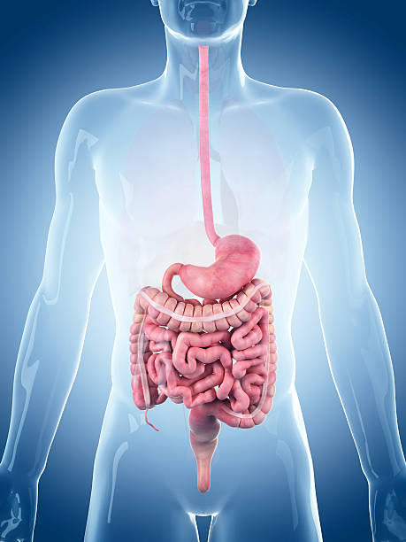 medical illustration - human intestine stock photos and pictures